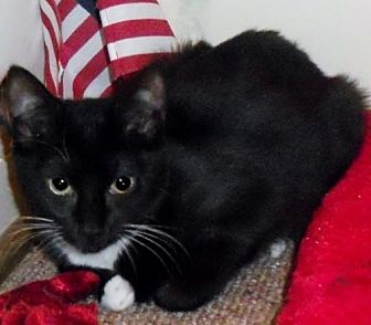 Domestic Shorthair Cat for adoption in Hampton, Virginia - Sweet Pea Jr.