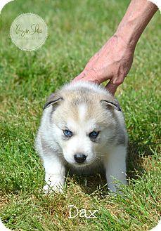 Siberian Husky Puppy for adoption in Clay, Alabama - Dax