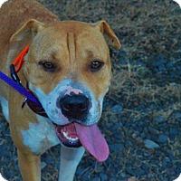 Adopt A Pet :: Shar - Somers, CT