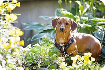 Dachshund Dog for adoption in Toronto, Ontario - Charlie