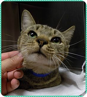 Domestic Shorthair Cat for adoption in Marietta, Georgia - ABRAHAM SEE ALSO ISAAC, JONAH