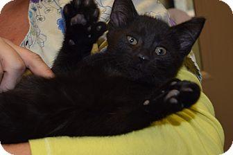 Domestic Mediumhair Kitten for adoption in Bucyrus, Ohio - Edward Scissorpaws