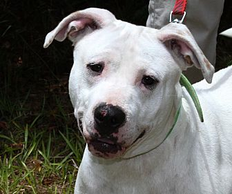 American Bulldog Mix Dog for adoption in Sylvania, Georgia - Dolly