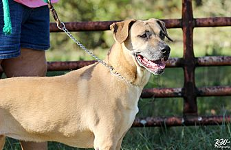 Black Mouth Cur Mix Dog for adoption in Myakka City, Florida - Sasha
