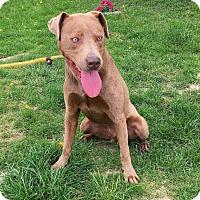 Adopt A Pet :: River - Springfield, IL