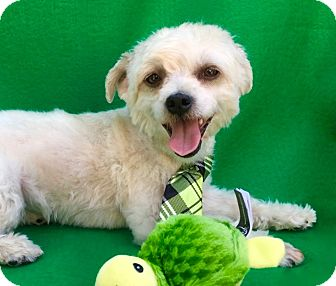 Maltese/Yorkie, Yorkshire Terrier Mix Dog for adoption in Irvine, California - Minion