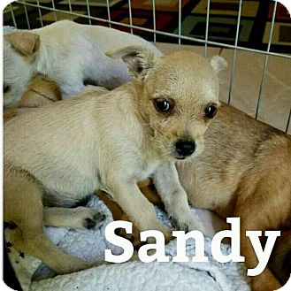 Terrier (Unknown Type, Small) Mix Puppy for adoption in Rancho Cucamonga, California - Sandy