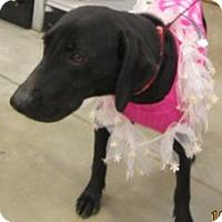 Hound (Unknown Type)/Labrador Retriever Mix Dog for adoption in Von Ormy, Texas - Love Bug