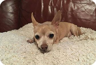 Chihuahua Mix Dog for adoption in Houston, Texas - Bruno Mars