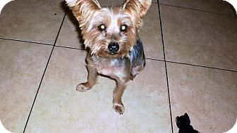 Yorkie, Yorkshire Terrier Dog for adoption in Ft Myers, Florida - Bowie