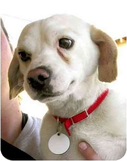 Beagle/Chihuahua Mix Dog for adoption in Rolling Hills Estates, California - Zip
