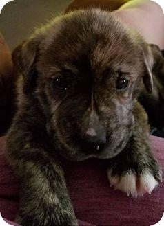 Plott Hound/German Shepherd Dog Mix Puppy for adoption in waterbury, Connecticut - Jaxon