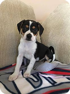 Beagle Mix Puppy for adoption in Baltimore, Maryland - Snickers