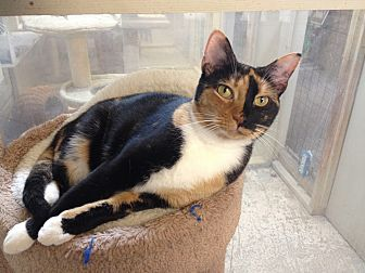 Calico Cat for adoption in Leander, Texas - Kristen Bell