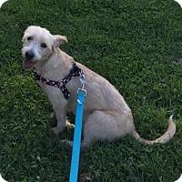 Adopt A Pet :: Brie - Millersville, MD