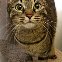 Domestic Shorthair Cat for adoption in Phoenix, Arizona - Nadya