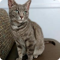 Domestic Shorthair Cat for adoption in Roanoke, Virginia - Lulu