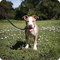 Adopt A Pet :: PUPPY - Georgia!! - Lincoln, CA