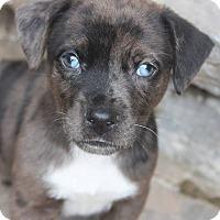Adopt A Pet :: Shadow - Groton, MA