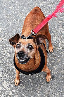Miniature Pinscher Mix Dog for adoption in Southbury, Connecticut - Myrtle ~ meet me!