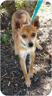 Chihuahua Mix Dog for adoption in Sugar Land, Texas - Ceaser