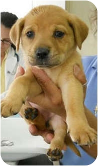 Labrador Retriever/Hound (Unknown Type) Mix Puppy for adoption in Cumming, Georgia - Leonardo da Vinci