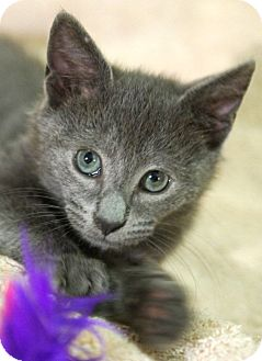 Domestic Shorthair Kitten for adoption in Medford, Massachusetts - Swiffer