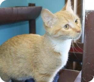 Domestic Shorthair Cat for adoption in West Des Moines, Iowa - Mandy