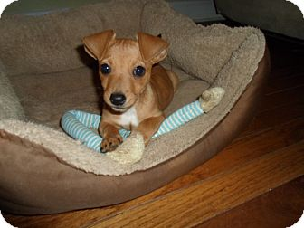 Chihuahua/Jack Russell Terrier Mix Puppy for adoption in Plainfield, Connecticut - Preston