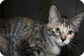 Domestic Shorthair Cat for adoption in West Des Moines, Iowa - Venus
