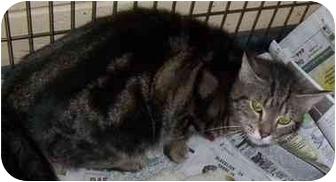 Domestic Shorthair Cat for adoption in Somerset, Pennsylvania - Tigger