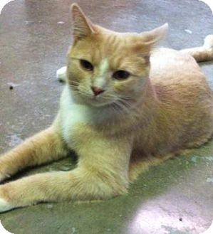 Domestic Shorthair Cat for adoption in Port Hope, Ontario - Echo