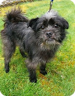 Cairn Terrier/Brussels Griffon Mix Dog for adoption in Covington, Washington - Scruffy