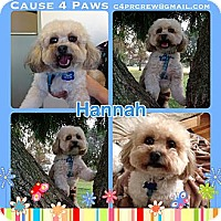 Adopt A Pet :: Hannah - Los Angeles, CA
