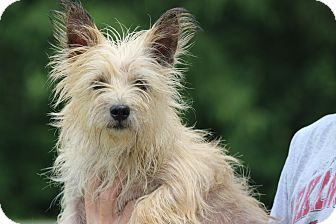 Cairn Terrier Dog for adoption in Oakville, Connecticut - Fancy