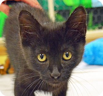 Domestic Shorthair Cat for adoption in Searcy, Arkansas - Cindy