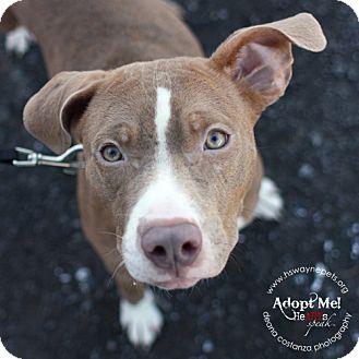 Pit Bull Terrier Mix Dog for adoption in Lyons, New York - Ginger