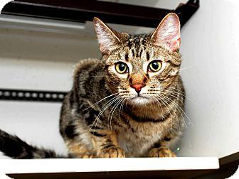 Domestic Shorthair Cat for adoption in Aiken, South Carolina - Kingsley
