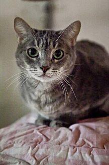 Domestic Shorthair Cat for adoption in Midway City, California - Amelia