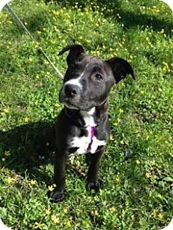 Labrador Retriever/Pit Bull Terrier Mix Puppy for adoption in Nashville, Tennessee - Daisy