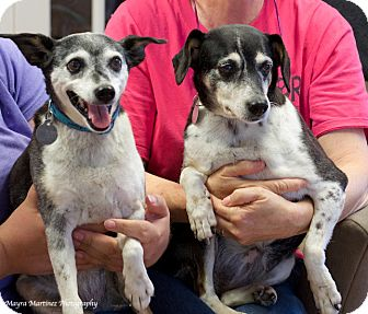 Jack Russell Terrier/Rat Terrier Mix Dog for adoption in FOSTER, Rhode Island - Thelma & Louise