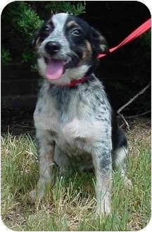 Australian Cattle Dog Mix Dog for adoption in Brenham, Texas - Pickles