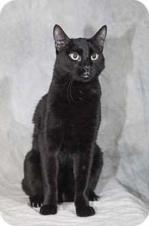 Domestic Shorthair Cat for adoption in Las Vegas, Nevada - Lola