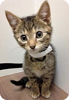 Domestic Shorthair Kitten for adoption in Hinsdale, Illinois - ADOPTED!!!   Tilly
