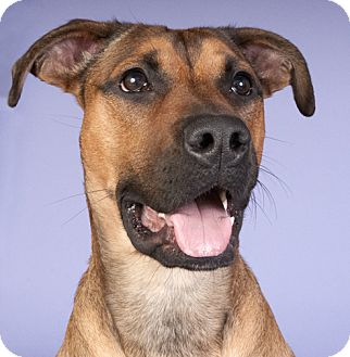 Shepherd (Unknown Type)/Terrier (Unknown Type, Medium) Mix Dog for adoption in Chicago, Illinois - Lucy