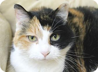 Calico Cat for adoption in Benbrook, Texas - Angel
