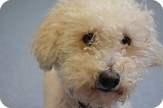 Poodle (Miniature) Mix Dog for adoption in Bay Shore, New York - Poodle Mix