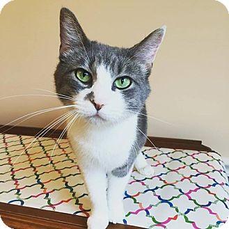 Domestic Shorthair Cat for adoption in Xenia, Ohio - Gina
