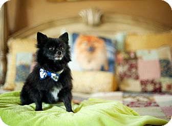 Pomeranian Mix Dog for adoption in Dallas, Texas - Timber (HW+)