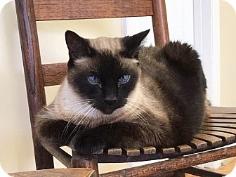 Siamese Cat for adoption in Huntsville, Alabama - Mojo  ***Declawed***